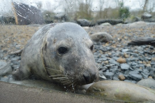 A seal at Exploris Aquarium in Portaferry