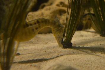 Seahorse at Exploris Aquarium in Portaferry