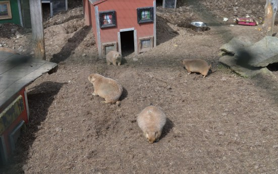 Prairie Dogs at Alcorn's Tropical World in Donegal