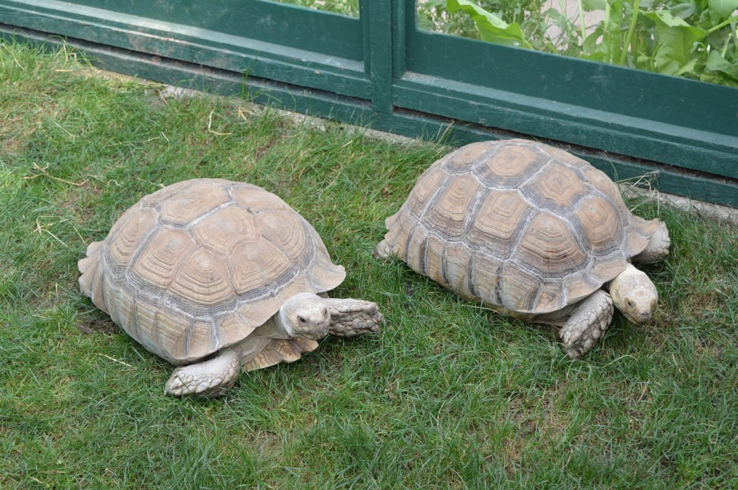 Sulcata Tortoises at Tropical World in Letterkenny, Ireland