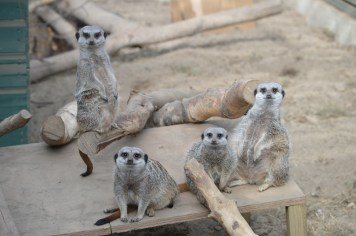 Meerkats at Alcorn's Tropical World in Letterkenny, Donegal