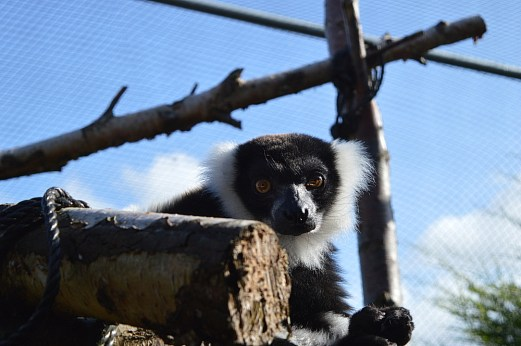 Black and White Ruffed Lemur at Alcorn's Tropical World in Donegal
