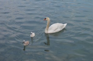 A Swan and cygnets on Lake Brienze at camping Aaregg, Switzerland