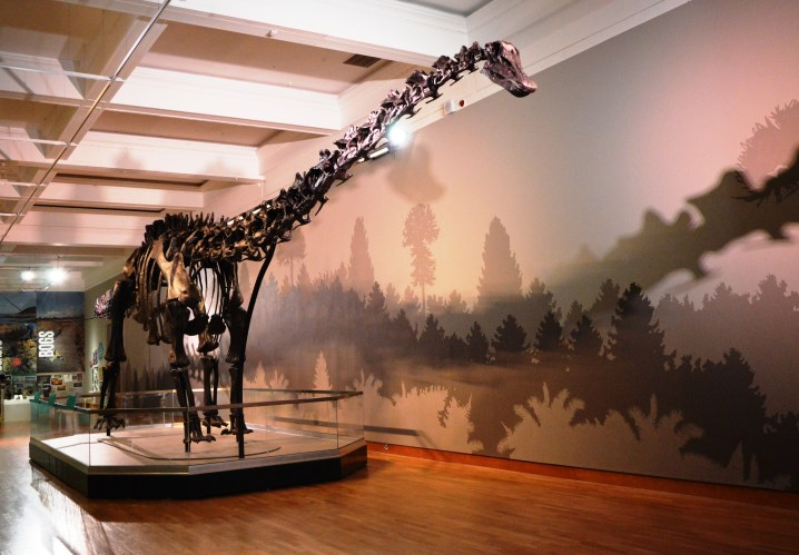 Dippy the Diplodocus standing proudly in the Ulster Museum, Belfast