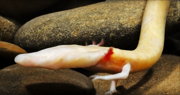 An Olm at Postojna Cave in Slovenia
