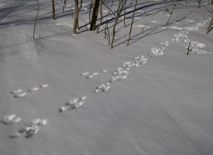 Animal footprints in the snow on our Starlit Sleigh Ride in Ruka