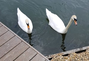 Swans outside Le Boat in Benson, Oxfordshire