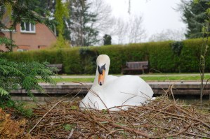 A swan nesting on the River Thames