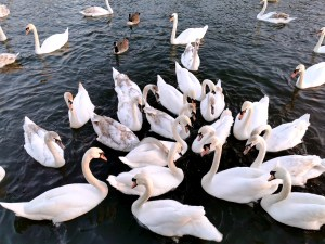 Feeding swans on the River Thames in Windsor