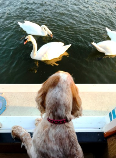 Rosie watching the swans on the River Thames