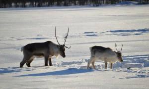 Reindeer roaming freely in Rovaniemi, Finnish Lapland