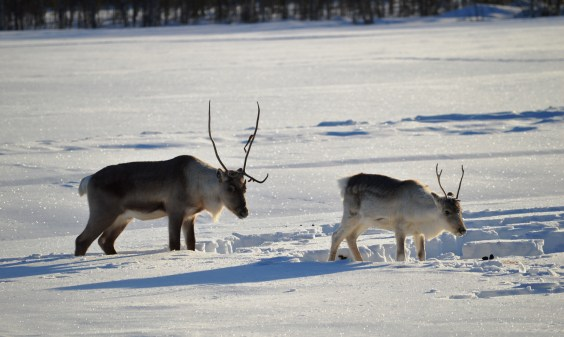 Reindeer roaming freely in Rovaniemi, Finnish Lapland