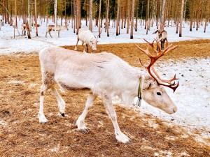 Reindeer with jingling bells at Vaara Reindeer Farm, Ranua, Finland