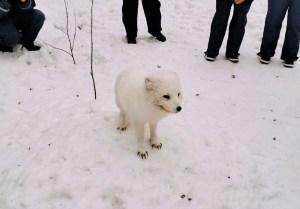 A curious Arctic Fox at Ranua Zoo in Finland