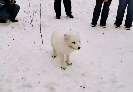 A curious Arctic Fox at Ranua Zoo in Finland