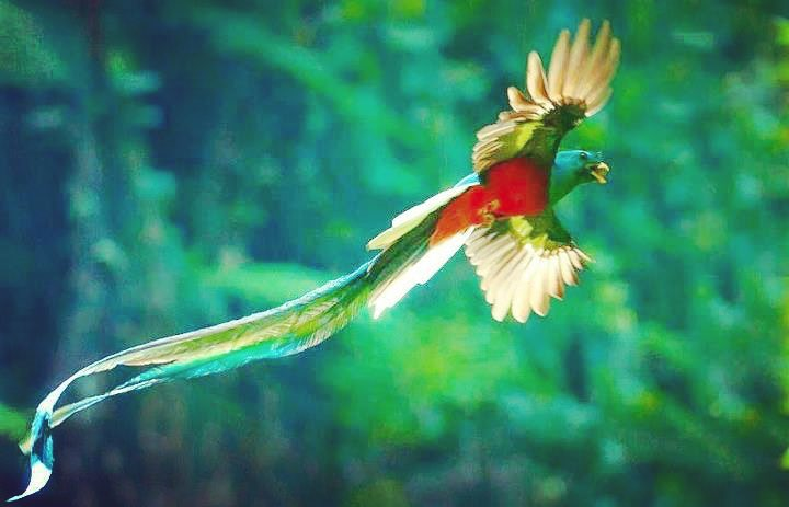 picture of guatemala quetzal in flight