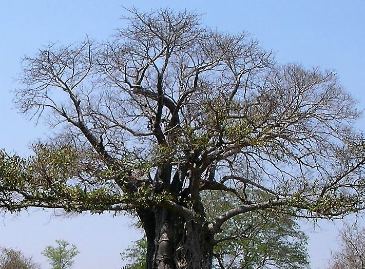 photo of baobab tree in Malawi