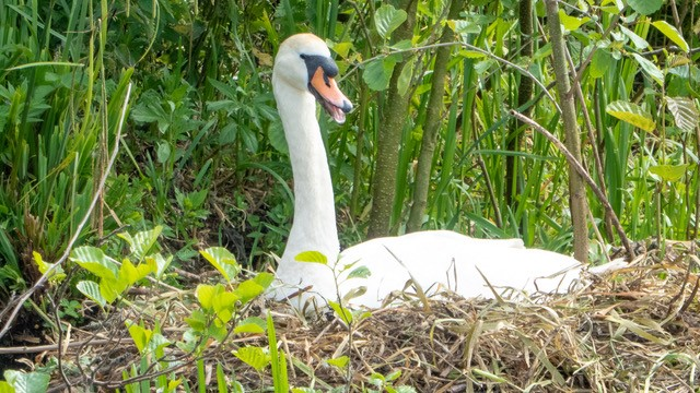 norfolk broads swan
