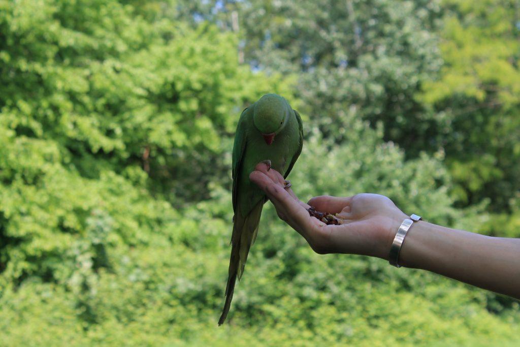 kensington garden parakeet