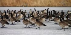 img_0536-geese