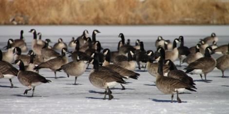 img_0537-geese