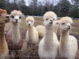 Alpaca Ladies