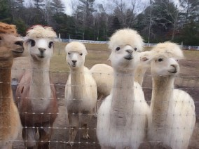 Alpaca Ladies