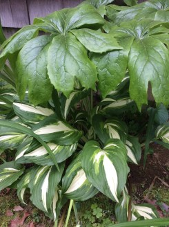 Variegated Hosta & May Apple