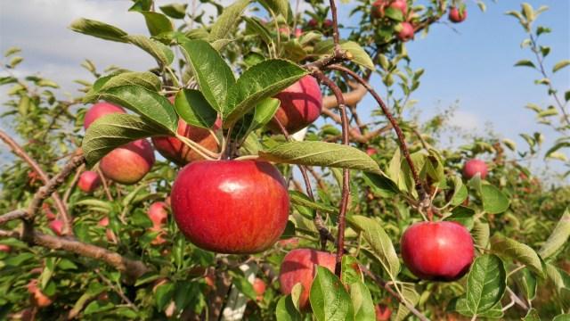 auto-cueillette pommes verger activites automne voyage road-trip canada nouveau-brunswick