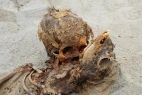 Las víctimas de un evento desesperado, un niño (izquierda) y una cría de llama (derecha), fueron parte de la matanza en forma de sacrificio de más de 140 niños y más de 200 llamas en la costa norte del Perú alrededor de 1450 d. C. FOTOGRAFÍA DE GABRIEL PRIETO