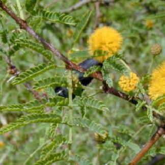 EI-acacia-farnesiana
