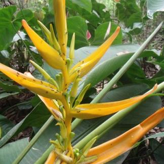 ENMA-heliconia-aemygdiana