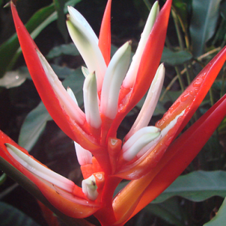 ENMA-heliconia-angusta