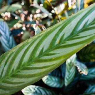 ENMA-maranta-bicolor