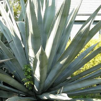 EI-agave-americana
