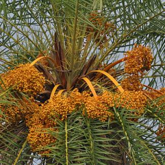 Phoenix sylvestris (invasora)