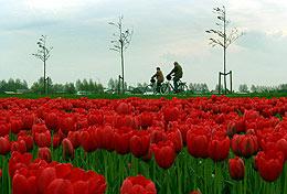 Campo de tulipanes de Bloembollenstreek.