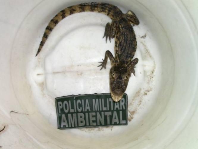 Um dos jacarés capturados foi encontrado na Coteminas