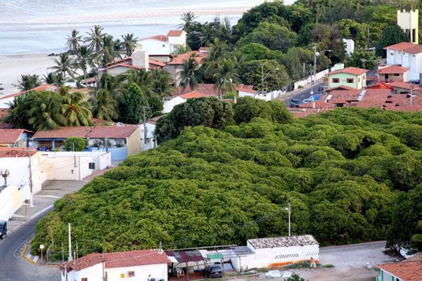 Cajueiro cresce sem controle e invade as principais ruas da movimentada Praia de Pirangi, litoral Sul