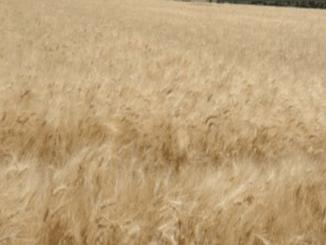 Memalukan, Pasukan Turki Terus Jarah Ladang Gandum Penduduk Hasakah Suriah