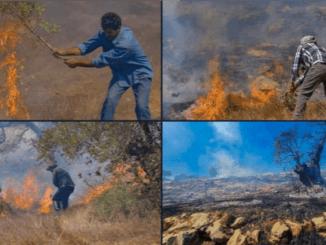 Keji! Israel Rampas dan Bakar Kebun Zaitun Petani Palestina saat Musim Panen