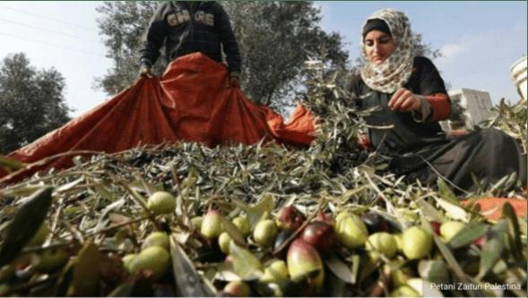 PBB Catat 33 Insiden Pemukim Israel Serang Petani Palestina saat Musim Panen ZaitunPBB Catat 33 Insiden Pemukim Israel Serang Petani Palestina saat Musim Panen Zaitun