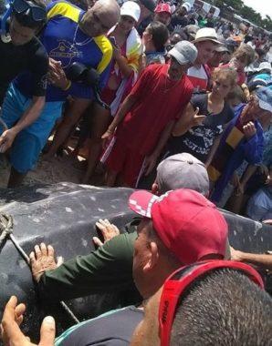 Tiburón-ballena recala en Cuba