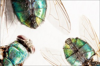 Flies, Macro photography