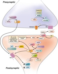 Image result for endocannabinoid system