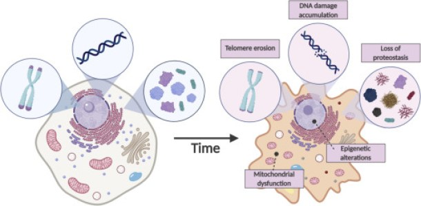 Principles of the Molecular and Cellular Mechanisms of Aging - ScienceDirect