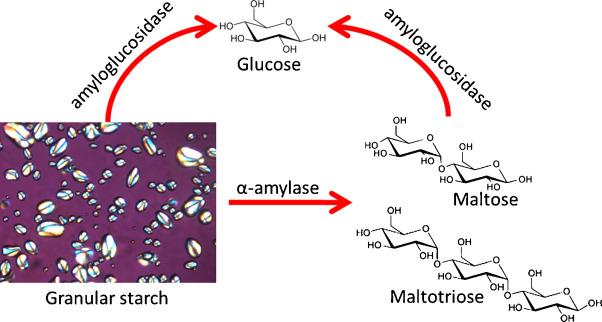 The function of alpha amylase and amyloglucosidase