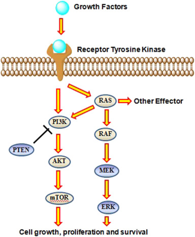 Image result for ras/raf mtor signaling pathway
