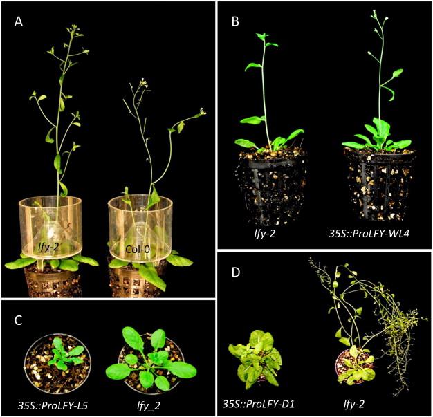 Protea Hybrid Carnival P Compacta X P Neriifolia Expresses
