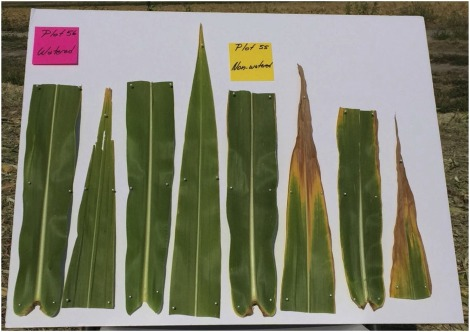 Effect Of Drought Stress On In Vitro Neutral Detergent Fiber Digestibility Of Corn For Silage Sciencedirect